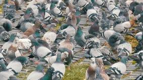 鸽子大群在年长妇女哺养的公园 影视素材