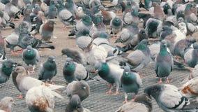 鸽子大群在年长妇女哺养的公园 股票视频