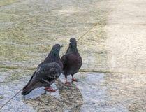 鸽子夫妇-交谈 库存照片