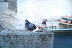 鸽子夫妇 库存图片