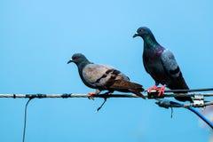 鸽子夫妇 库存照片