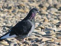 鸽子好奇以灰色海石头为背景 图库摄影