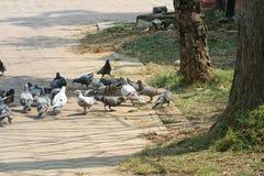 鸽子小组在公园 库存照片