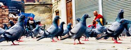 鸽子小组,鸟,尼泊尔,加德满都 库存照片