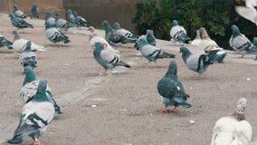 鸽子巨大的群在城市停放紧密  鸟吃食物户外在城市街道或在边路在公园 股票视频