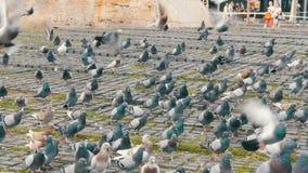 鸽子巨大的群在城市停放紧密  鸟吃食物户外在城市街道或在边路在公园 股票录像