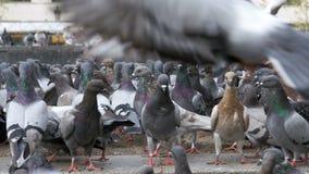 鸽子巨大的群在城市停放 股票录像