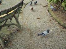鸽子是沿方式的步行 免版税库存照片