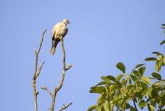 鸽子木头 库存图片