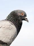 鸽子接近  免版税图库摄影