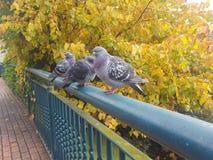 鸽子栖息 免版税图库摄影