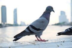 鸽子步行 免版税库存照片