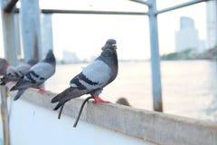 鸽子步行 免版税库存图片