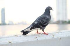 鸽子步行 库存照片