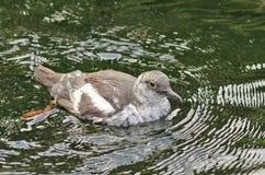 鸽子海雀科的鸟, Cepphus coumba 免版税库存照片
