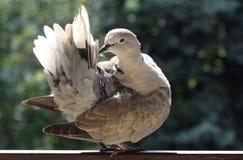 鸽子清洁羽毛 免版税库存图片