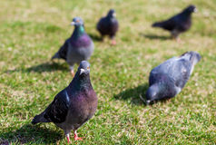 鸽子特写镜头照片在胡同的 在草的鸠 鸽子在城市 鸟系列 库存照片