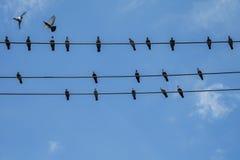 鸽子电导线的鸟举行 免版税库存图片