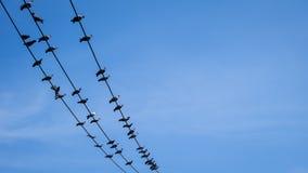 鸽子电导线的鸟举行 库存图片