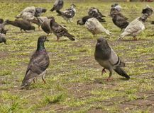 鸽子男性和女性显示与鸽子群在背景中 库存图片