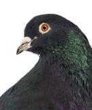 鸽子的特写镜头 免版税库存图片