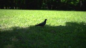 鸽子穿过阳光明媚的谷地 股票录像