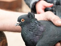 鸽子纯血统的动物在人的手上 图库摄影