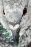 鸽子纵向 免版税库存照片