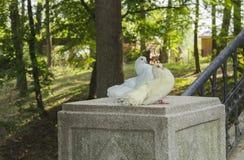 鸽子美好的夫妇  图库摄影