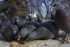 鸽子群吞食面包屑 免版税库存图片