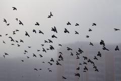 鸽子群在一个有雾的城市 免版税库存图片
