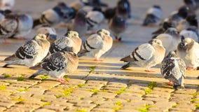 鸽子群在城市街道的 免版税库存图片
