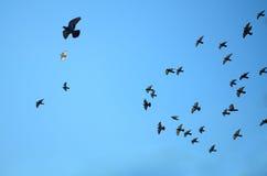 鸽子群在蓝天的 免版税库存照片