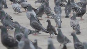 鸽子群在街道上的 股票录像
