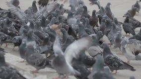 鸽子群在街道上的 股票视频