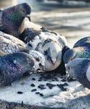 鸽子群热切地吃种子 免版税库存照片