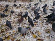 鸽子群 免版税图库摄影