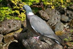 鸽子苏格兰木头 库存照片