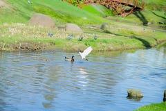 鸽子飞行在一只浮动鸭子在河 免版税图库摄影