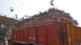 鸽子饮用食物在连续卡车 库存图片