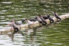 鸽子饮用水,自然场面 库存照片