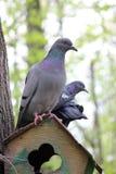 鸽子鸟在公园森林里 库存图片