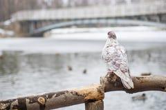 鸽子鸟,站立在木岗位反对被弄脏的自然本底 一只孤独的鸠坐一个木分支 库存照片