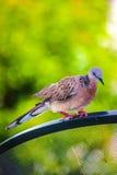 鸽子鸟 免版税库存图片