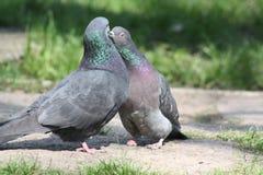 鸽子,爱情小说 免版税库存照片