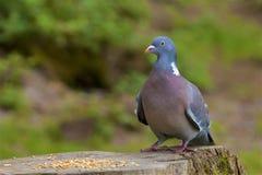 鸽子,英国 库存图片