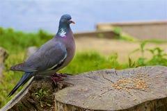 鸽子,英国 图库摄影