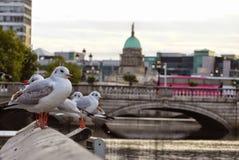 鸽子,都伯林爱尔兰 库存照片