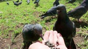 鸽子,鸠吃从手的种子 在公园空白夏天的结构树的云彩 POV 股票视频