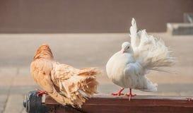 鸽子-孔雀 免版税图库摄影